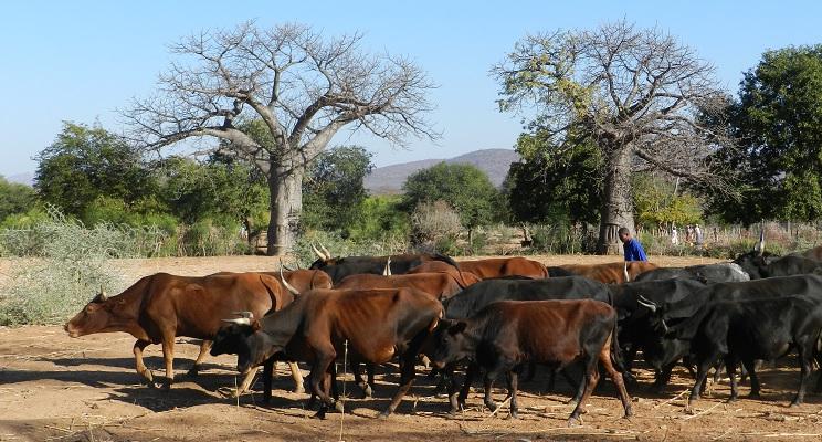 Rinderherde mit Hirte vor Baobabs