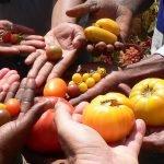 Enda-Pronat - Tomatenzucht