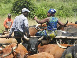 Ein Mann und eine Frau sitzen auf eine Zaun umgeben von Rindern, Viehhaltung